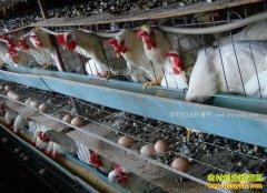 安徽界首申永杰返乡养蛋鸡助农同增收