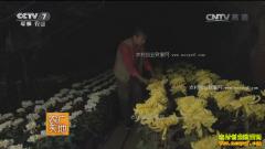 [农广天地]观赏菊花栽培技术视频