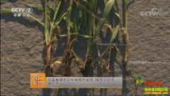 [农广天地]小麦根腐病的防治方法