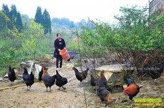 重庆綦江胡容林下养殖绿壳蛋鸡 鸡蛋供不应求