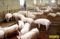 猪周期低谷或持续到2020年 养殖户需抱团取暖