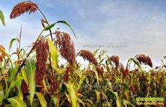国产高粱迎利好 农民种植高粱积极性或大幅提高