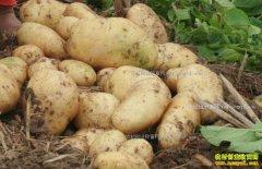 去年土豆价格跌 2018年土豆种植前景如何?