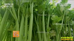[农广天地]优文图斯芹菜栽培技术视频