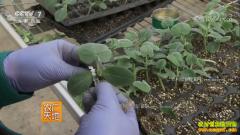 [农广天地]黄瓜双断根嫁接育苗技术视频