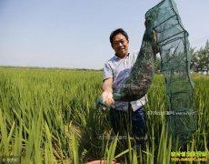 4月份稻田小龙虾怎么管?稻田养殖小龙虾管理技术四要点