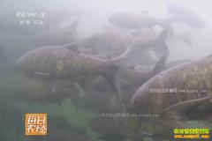 [每日农经]湖南张家界:山清水秀寻找胖头鱼
