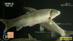 [每日农经]广东梅州:活力四射的草鱼惹人爱