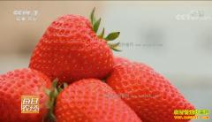 [每日农经]北京昌平:草莓园里的秘密