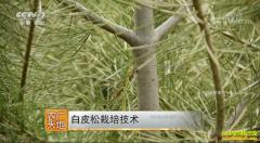 [农广天地]白皮松栽培技术视频