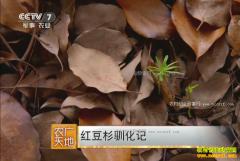 [农广天地]红豆杉人工栽培技术视频