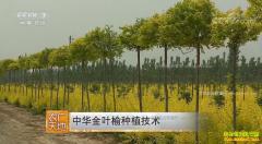 [农广天地]中华金叶榆栽培技术视频