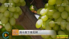 [农广天地]河北宣化漏斗架下葡萄鲜