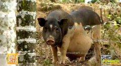 """[每日农经]海南保亭县多一只""""脚""""的五指山猪养殖更赚钱"""