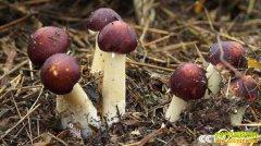 [致富经]四川宜宾曾久香种植赤菇40天赚来吓人财富