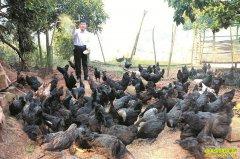 四川泸州王有忠中草药养黑鸡一年纯赚30万元