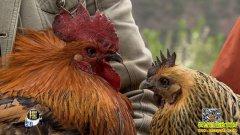 [每日农经]云南云龙县矮脚鸡是只富贵鸡