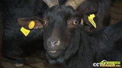 [致富经]海南万宁翁贤明养殖120元一斤的东山羊年入700万