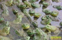 牛蛙多少钱一斤?2018年5月7日水产市场牛蛙批发价格