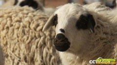 [致富经]内蒙古阿拉腾苏和养羊让一只羊多卖500元