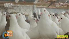 [每日农经]享受飞棚待遇的鸽子散养效益好