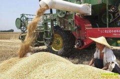 新麦开秤价或较去年下降 后期麦价仍有上涨空间