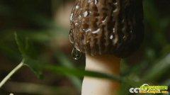 [致富经]云南贺鸿宇种植羊肚菌用3个月让土里长出1200万