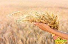 小麦收割价格猛涨,而小麦收购价0.5元/斤左右怎么卖?