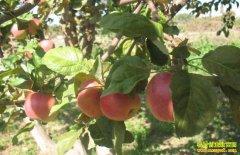 全国苹果预计减产五分之一 今年苹果价格有望提高