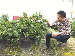 四川都江堰周光平种植盆栽蓝莓 每盆售价达千元