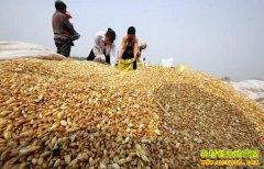 小麦收购价一周内快速上涨 近期小麦价格涨势将延续