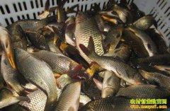 淡水鱼价格低迷 分析师:注意高温影响