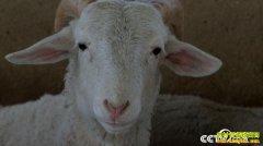 [致富经]甘肃榆中黄有兵养羊:别人赔钱他不赔 别人赚钱他多赚