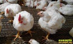 肉鸡价格上涨 养殖户经销商不要盲目跟风