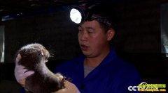 [致富经]被骗被盗后 广西桂林尹华养竹鼠靠一招年卖3000万