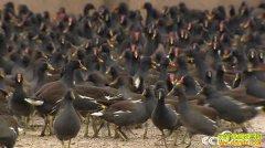 [致富经]一张巨网 湖北孝感戴国俊养殖黑水鸡一年网来800万