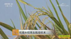 [农广天地]机插水稻再生栽培技术视频
