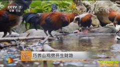 [农广天地]四川通江县喻文波巧养山鸡劈开生财路