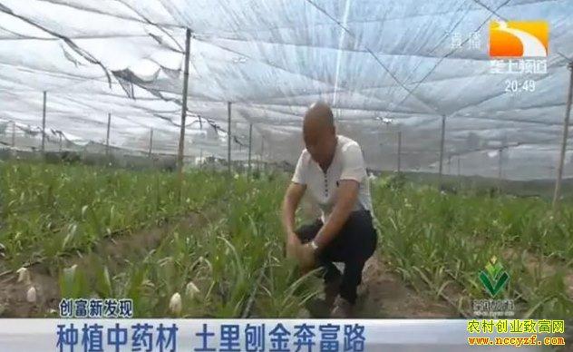 种植白芨一亩能赚十万元?白及种植风险高投资要谨慎