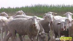 [致富经]都说钱难赚 内蒙古巴彦淖尔谭军养羊咋年卖7亿元?