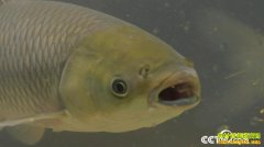 [致富经]广东广州阳会军养鱼 一斤草鱼价格提升50%多的秘密
