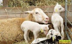 羊突然站不起来了是什么原因?怎样治疗?