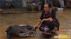 [致富经]云南西双版纳好强媳妇马连养殖滇南小耳猪年销600万
