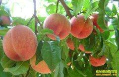 河北深州张连会的蜜桃种植致富经