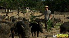 [致富经]海南儋州王文强30头山猪玩出了1.5亿元