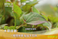 [致富经]一根怪味草扯出千万财:湖北荆州王泽林鱼腥草种植致富经