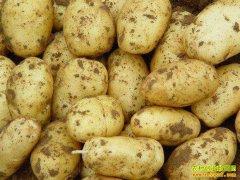 土豆多少钱一斤?2018年7月17日山东昌邑土豆价格行情