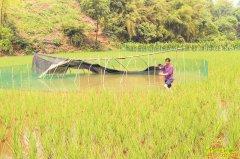 四川泸州金凤村刘正德稻田养鱼每亩增收上千元
