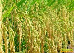 早稻即将收获上市 水稻行情有较大波动可能