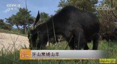 [农广天地]牙山黑绒山羊养殖技术视频
